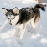 Аляскинский кли-кай и так много снега