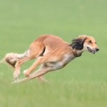 Бегйщий щенок Салюки