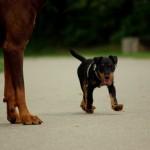 Ягдтерьер с большой собакой