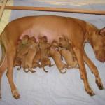 Фараонова собака кормит щенков