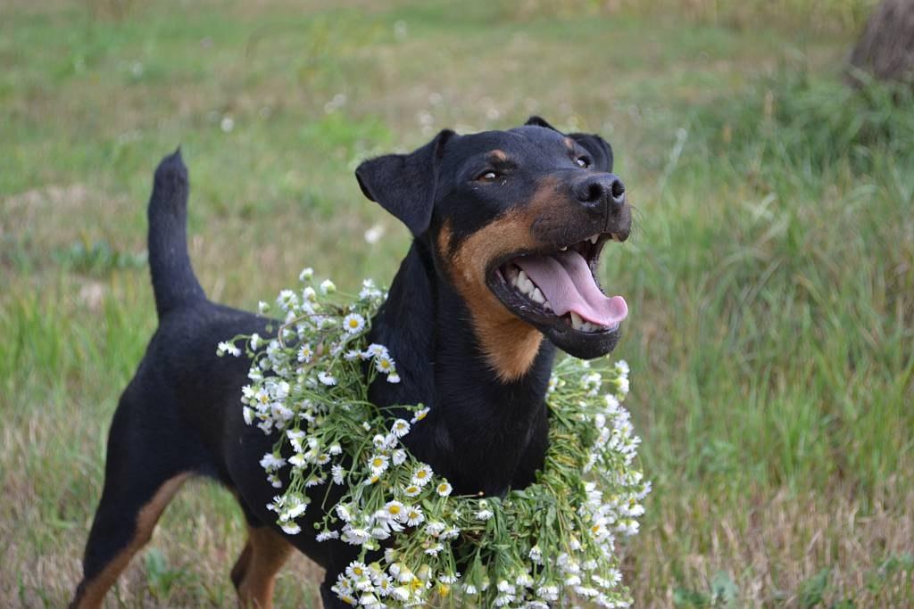 Немецкий ягдтерьер — универсальный охотник. Фото и описание породы собак