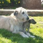 Ирландский волкодав с щенком