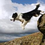 Бордер-колли в прыжке