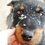 Ягдтерьер в снегу