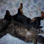 Ягдтерьер и кот, скорее всего выросли вместе или кот появился раньше