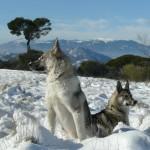 Две западносибирские лайки на снегу