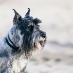 Миттельшнауцер на пляже