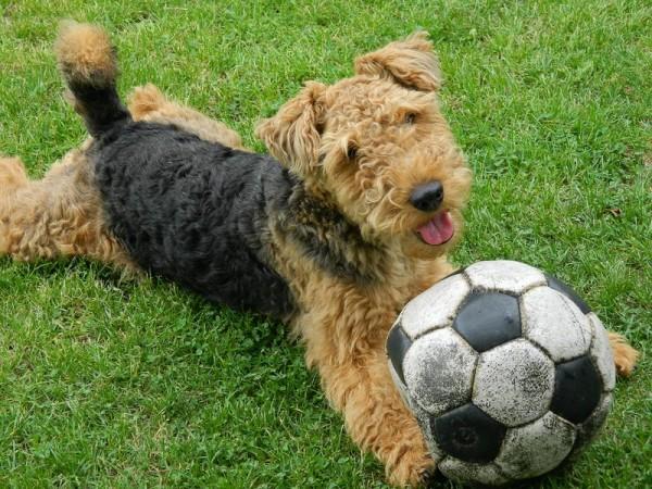 Вельштерьер с футбольным мячом