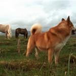 Исландская собака на фоне лошадей
