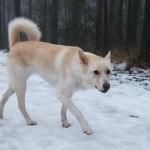 Ханаанская собака зимой