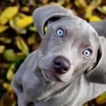 Глазастый щенок Веймаранера