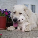 Словацкий чувач с щенком
