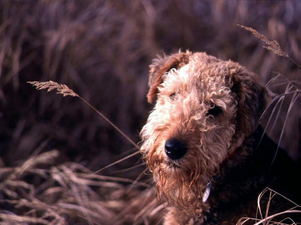 Эрдельтерьер портрет в траве