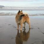 Исландская собака — шпиц по происхождению и овчарка по призванию