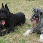 Миттельшнауцер — фото, описание и особенности породы собак