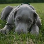 Веймаранера щенок