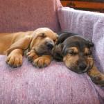 Два щенка Бладхаунда