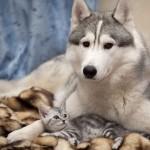 Сибирский хаски с котенком