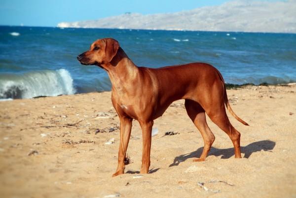 Родезийский риджбек на пляже