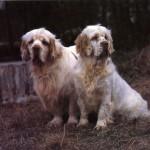 Два Кламбер-спаниеля