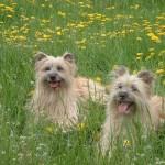 Две Пиренейские овчарки