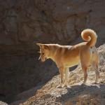Ханаанская собака в пустыне