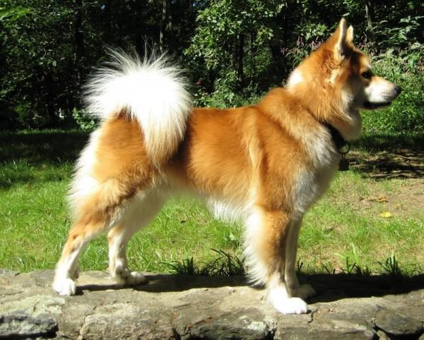 Исландская собака