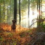 Родезийский риджбек в лесу