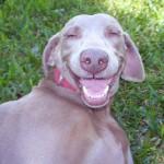 Веймаранер улыбается