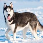 Сибирский хаски зимой