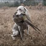 Веймаранер держит фазана