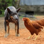 Австралийский келпи и курица