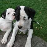 Два щенка Американского бульдога
