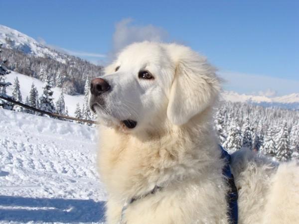 Словацкий чувач зимой в горах