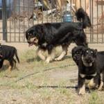 Семейство Бурят-монгольских волкодавов