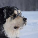 Бурят-монгольский волкодав зимний портрет