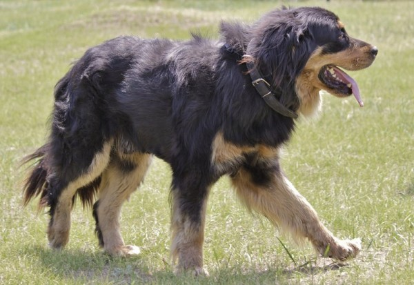 Бурят-монгольский волкодав или хотошо