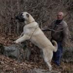 Гампр или армянский волкодав