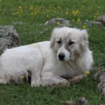 Гампр или армянский волкодав длинношерстный
