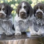 Три щенка дратхаара