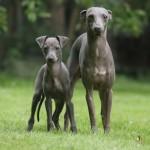 Левретка и ее щенок