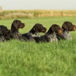 Дратхаары в траве