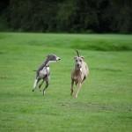 Две бегущие Левретки