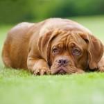 Грустный щенок Бордоского дога