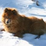 Евразиер в снегу