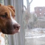 Американский питбультерьер у окна