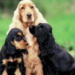 Английский кокер-спаниель с щенками