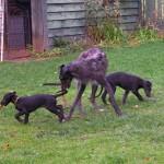 Дирхаунд с щенками