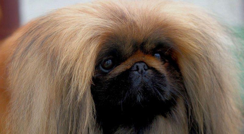 Карликовый и королевский Пекинесы: как выбрать щенка и не ошибиться