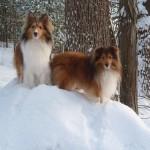 Две шелти зимой